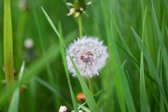 DSC_0255 (jna.rose) Tags: wish flower weed nikon d5300 photography outdoors outdoor stem plantlife plants nature