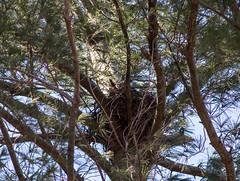 Great Horned Owl & Nest (Matts915) Tags: belmont birds wildlife animalphotography animals audubonhabitat birdwatching birding birdsofmassachusetts bubovirginianus greathornedowl nature natureshots outdoors