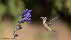 Ruby-throated Hummingbird at Salvia. (rosemaryharrisnaturephotography) Tags: rubythroatedhummingbird juvenile yardbird rosemaryharris canoneos7dmk11 canon400mmefseriesllens salvia flower green nature wildlife bird hummingbird daylight ngc npc coth5 specanimal coth