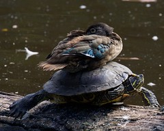 Wood Duck and Slider 5548 (c1_reader) Tags: funny humour duck turtle woodduck birds reptiles