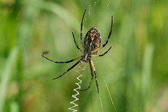 Black and Yellow Garden Spider (Kristy_Baker) Tags: spider arachnid bug bugs insect insects yellow black garden nature wildlife fauna web panasonic lumix g9 oly olympus 40150 28 nwr tennessee hatchie