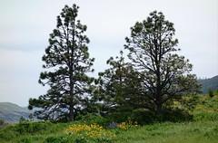 Rowena Crest (pris matic) Tags: rowenacrest lupine balsamroot beautiful oregon pacificnorthwest pnw sonydscrx100