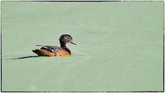 Wood duck, almost grown up. (RKop) Tags: eastforklake cincinnati ohio raphaelkopanphotography d500 600mmf4evr