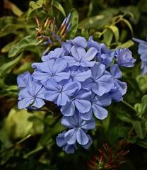 Imperial Blue Plumbago (iseedre) Tags: blue plumbagos petals leaves buds blossom garden delmar sandieguitoriverpark