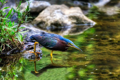 Determined (cj13822) Tags: nature unitedstatesofamerica maryland columbia naturephotography naturelovers bird wildlifephotography birdsofinstagram birdsoftwitter