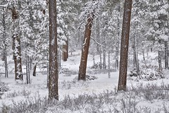 Winter Pines (somewheredowntheroadphoto) Tags: snow snowy light shadow shadows trees branches forest woods seasons season winter pines pine