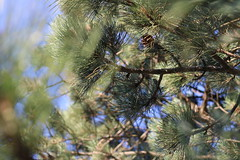 pine tree branches (jbouikidis) Tags: nature pine tree trees green pinecones foreground background bokeh sky clear clearskies fullframe dark brown blue branch branches natural lighting