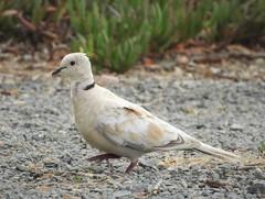 Help me identify a dove seen in Bodega Bay! (Ruby 2417) Tags: dove bird wildlife nature rare rarity question mystery identify identification unidentified bodega bay coast seashore shore sea ocean