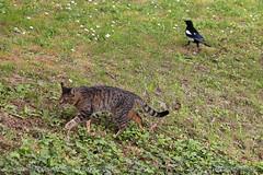 Parting ways (srkirad) Tags: animals cat bird magpie parting walkingaway grass foliage niškabanja serbia srbija outside outdoors nature park