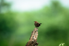 Bird (sahulalit) Tags: bird animal wildlife nature one outdoors animals in the wild perching no people closeup day selective focus vertebrate song sparrow themes standing full length side view