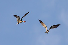 Pair of Black Skimmers Inflight (dbadair) Tags: outdoor seaside shore sea sky water nature wildlife 7dm2 7d ii ef100400mm ocean canon florida bird flight bif