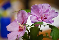 Rose of Sharon! (ineedathis, Everyday I get up, it's a great day!) Tags: roseofsharon flower vase cutflowers stilllife pink violet macro nikod750 doublebloom