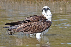 Eastern Osprey (Pandion cristatus) (philk_56) Tags: western australia perth alfred cove swan river bird osprey water bath eastern pandion cristatus