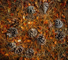 Autumn coming (ainz1607) Tags: em10 omd olympus yellow patterns texture pinecones pine orange natural nature leaves cones fall autumn