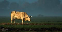 Early morning breakfast! (Jambo53 ()) Tags: copyrightrobertkok crobertkok nature dutchwildlife sunrise zonsopkomst netherlands cow koe