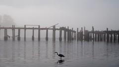 Early Bird (tourtrophy) Tags: greategret egret bird bodegabaymarina marina pier hwy1 sonyrx100vii sonyrx100m7