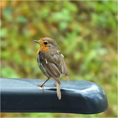 a robin............ (atsjebosma) Tags: roodborstje camping summer august robinn augustus zomer atsjebosma vogeltje bird lafrance 2019 coth coth5 ngc