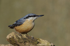 K32P2482c Nuthatch, Barnwell C.P., March 2019 (bobchappell55) Tags: barnwellcountrypark northamptonshire wild wildlife nature bird nuthatch sittaeuropaea woodland