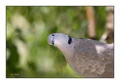 Ma voisine (Rémi Marchand) Tags: oiseau plumage bokeh tourterelle canoneos5dmarkiii arbre été summer bird nature
