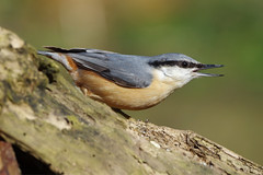 K32P1831c Nuthatch, Barnwell C.P., March 2019 (bobchappell55) Tags: barnwellcountrypark northamptonshire wild wildlife nature bird nuthatch sittaeuropaea woodland