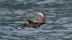Skua, St Kilda, Scotland (nisudapi) Tags: skua bird ocean 2019 uk scotland hebrides outerhebrides westernisles stkilda kilda arhipelago boreray seabird