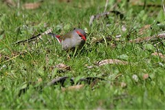 Red-browed Finch (James_Preece) Tags: redbrowedfinch estrildidae m43 neochmiatemporalis panasoniclumixdcgh5 leicadgvarioelmar100400mmf463asphpoweroislens