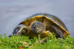 Moustache Turtle (Gabriel.Lascu) Tags: turtle hispaniolanelegantslider trachemysdecorata vulnerablespecies familyemydidae