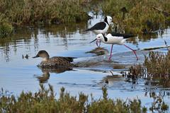 Pied Stilt vs Grey Teal (philk_56) Tags: western australia perth alfred cove swan river bird pied stilt grey teal water