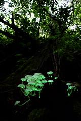 Filoboletus (Arddu) Tags: bioluminescent filoboletus funugi mushroom magic magicmushroom jungle night