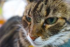 Tigger on the Couch (sjrankin) Tags: 3september2019 edited animal cat closeup livingroom kitahiroshima hokkaido japan tigger couch