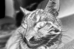 Tigger on the Couch, variant (sjrankin) Tags: 3september2019 edited animal cat closeup livingroom kitahiroshima hokkaido japan tigger couch