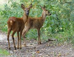Roe deer (hedgehoggarden1) Tags: roedeer mammals animals wildlife nature creatures sonycybershot deer norfolk eastanglia uk roydon sony