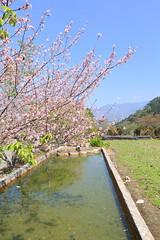 IMG_1092 (Ethene Lin) Tags: 草坪頭 玉山觀光茶園 櫻花 藍天 水池 倒影