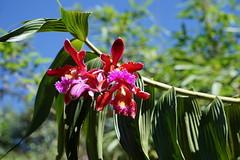 The glory of orchids (Chemose) Tags: sony ilce7m2 alpha7ii mai may pérou peru machupicchu fleur flower orchidée orchid couleur color