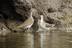 DSCN4988 birding (starc283) Tags: starc283 bird birding birds nature naturesfinest naturewatcher flickr flicker sandpiper spottedsandpiper commonsandpiper