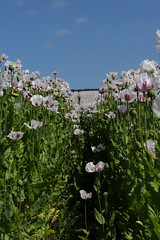Tasmanian Poppy field (Paul Brunt) Tags: poppy poppies purple white field green northernengland northumberland england unitedkingdom uk