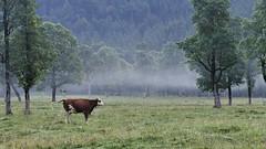 Die Kuh (flori schilcher) Tags: schilcher ahornboden berge alpen kuh alm eng hinterriss baum
