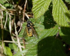 Chrysotoxum cautum (rockwolf) Tags: chrysotoxumcautum diptera hoverfly mouche insect parsands cornwall 2019 rockwolf