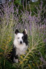 Bandit at Aga Khan (Rainfire Photography) Tags: dog bordercollie lavender agakhan scarborough ontario splitface heterochromia nikon d850