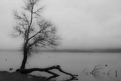 l'albero spezzato (mat56.) Tags: paesaggi paesaggio landscape landscapes alberi trees atmosfera atmosphere lago lake viverone piverone torino piemonte acqua water bianco black nero white antonio romei mat56
