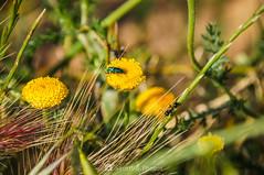 The observer (SantiMB.Photos) Tags: 2blog 2tumblr 2ig gallecs mollet vallèsoriental vallès primavera spring campos fields flores flowers insectos insects hormiga ant geo:lat=4155105717 geo:lon=219347848 geotagged molletdelvalles cataluna españa