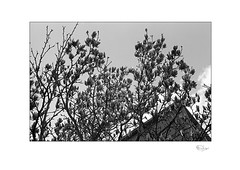 Here Come the Magnolias (radspix) Tags: contax rts 50mm carl zeiss planar t f17 arista edu 100 pmk pyro