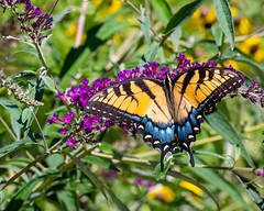 Open Wide... (ragtops2000) Tags: butterfly easterntigerswallowtail colorful openwide markings beautiful bush landing feeding nectoring large