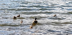 September 2, 2019 - Mama duck and her ducklings on the water. (David Canfield)
