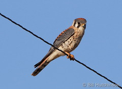 September 1, 2019 - An American kestrel keeps watch on a wire. (Bill Hutchinson)