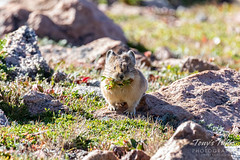 September 1, 2019 - An American pika gathers for the coming winter. (Tony's Takes)