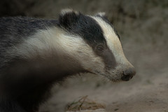 Badger in front of his cave (hardy-gjK) Tags: badger dachs animal tier mammal wildlife nature natur hardy nikon close up nahaufnahme