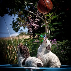 Pool Fun (Missy Jussy) Tags: poolfun rupert rupertbear razz razzledazzle englishspringer springerspaniel spaniel dogs pets animals happiness fun pool ball outdoor outside labrugere ruralfrance france trees garden flowers ef70200mmf4lusm canoneos5dmarkii canon