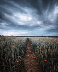 Alone in the fields - Seul dans les champs (www.szphotographie.com) Tags: flieds poppies wheat sky clouds rainny cold wind countryside rural scene nature landscape art fineart inspiration ambiance moody stormy weather météo paysages ciel nuages pluie vent mayenne france szphotographie nikon culture