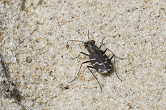 Oblique Lined Tiger Beetle (brucetopher) Tags: tigerbeetle tiger beetle cicindela beach sand beachtigerbeetle insect 6 six legs sixlegs bug critter creature tiny beauty beautiful pattern elytra maculations shell camouflage fast elusive animal outdoor purple purplish big dark heat sandy identified